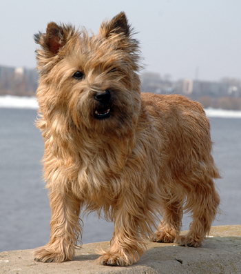 Carin Terrier Dog and his cute look